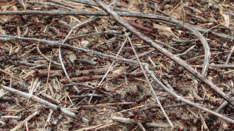 Lots Of Ants Hard Working On Building Anthill Of C stock footage