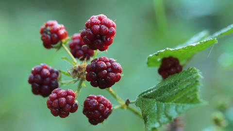 blackberries Stock Video Footage