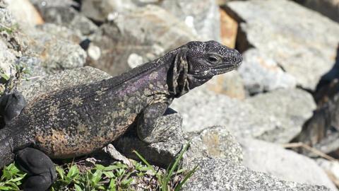 Iguana Close Up Stock Video Footage