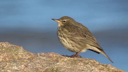 Rock Pipit 1 Stock Video Footage