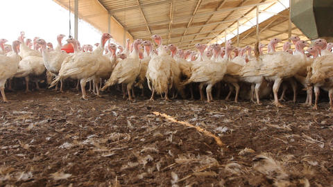 Chicken Farm poultry production Footage