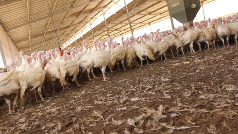 Chicken Farm poultry production Stock Video Footage