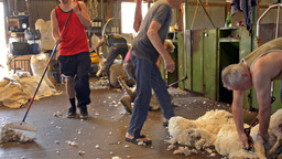 shearers shearing sheep in a shed on an australian Stock Video Footage