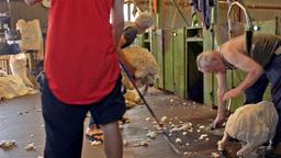 shearers shearing sheep in a shed on an australian Stock Video Footage
