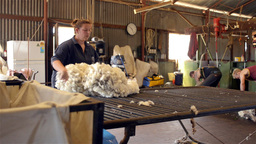 rousabouts fleecing freshly shorn wool in a sheari Stock Video Footage