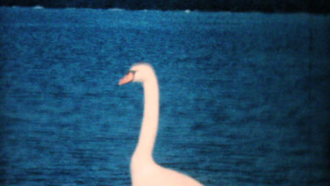 Beautiful Swans On The Beach 1962 Vintage 8mm film Stock Video Footage
