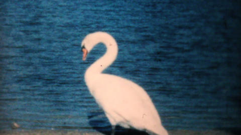 Beautiful Swans On The Beach 1962 Vintage 8mm film Footage