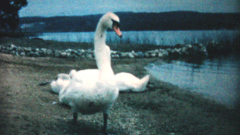 Swan Guarding Her Young On The Beach 1962 Vintage Footage