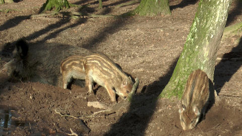 Wild Piglets In Forest Closeup stock footage