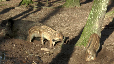 wild piglets in forest closeup Stock Video Footage