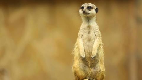 Meerkat on guard Stock Video Footage