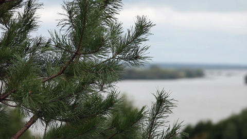 Pine Branches stock footage