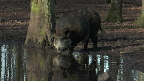 wild boar (sus scrofa) drinking at pond in forest Stock Video Footage