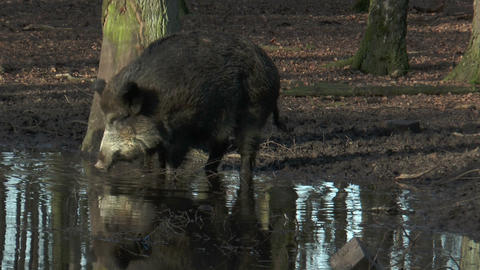 wild boar (sus scrofa) drinking at pond in forest Footage