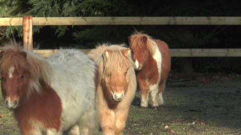 mini ponies closeup Footage