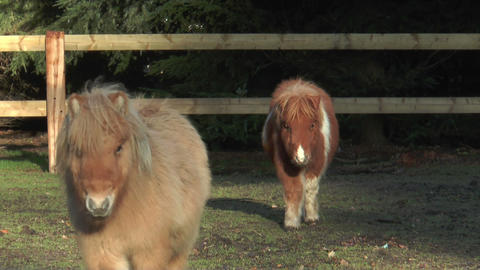 mini ponies closeup Stock Video Footage