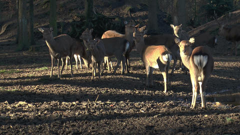 herd of sika deers in forest Stock Video Footage