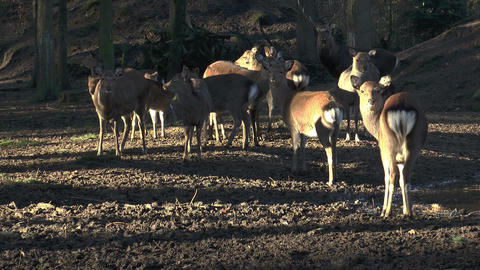 herd of sika deers in forest Footage