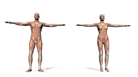Male And Female Muscles - 3D Render stock footage