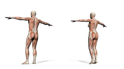 Male and female muscles - 3D render Stock Video Footage