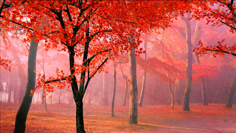 red maple leaves falling in wind Stock Video Footage