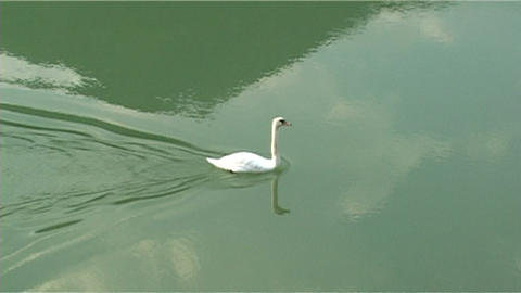 ntsc swan in the river Stock Video Footage