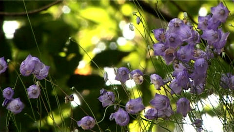 ntsc flowers closeup Stock Video Footage
