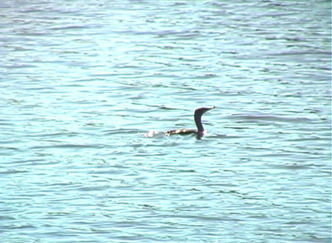 Anhinga Glides on a Lake (1b) Footage