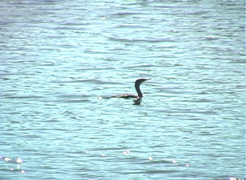 Anhinga Glides on a Lake (1b) Stock Video Footage