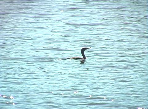 Anhinga Glides on a Lake (1b) Stock Video Footage