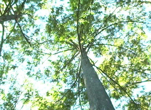 Bald Cypress Tree, Low-angle Rotating View (1b) Stock Video Footage