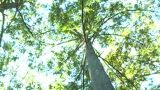 Bald Cypress Tree, Low-angle Rotating View (1b) stock footage