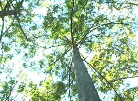 Bald Cypress Tree, Low-angle Rotating View (1b) Footage
