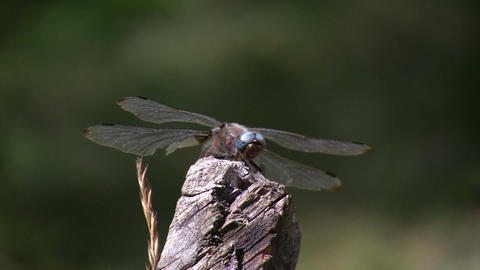 Dragonfly on a stick 3 Footage