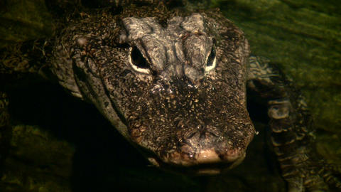 Close-up of a young alligator's face Stock Video Footage