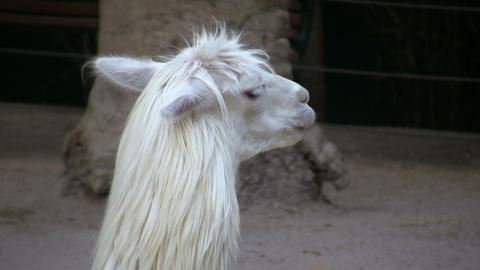 Huacaya Alpaca Lazily Stands Around In The Shade (High Definition) stock footage