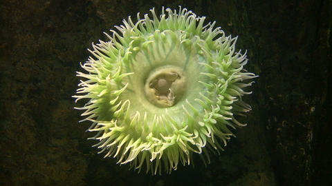 White Spotted Anemone gently sways in the water Stock Video Footage