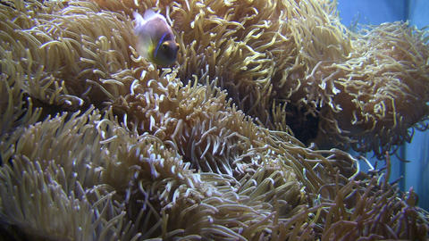 Some Anemone gently sways in the water Footage