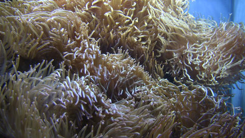 Some Anemone gently sways in the water Stock Video Footage