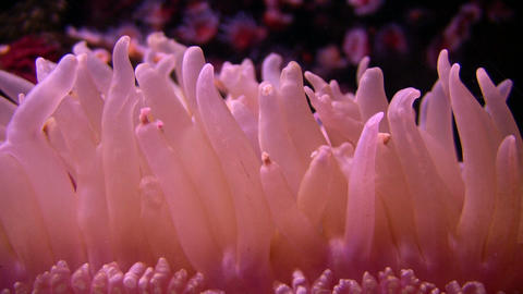 Some purple Anemone gently sways in the water Footage