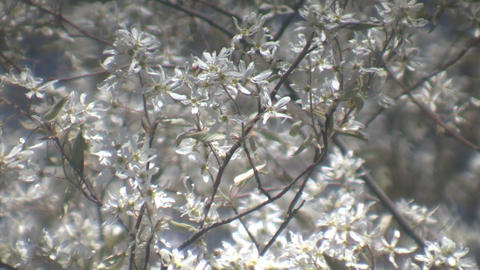 White apple blommoms gently sway the wind (High Definition) Stock Video Footage