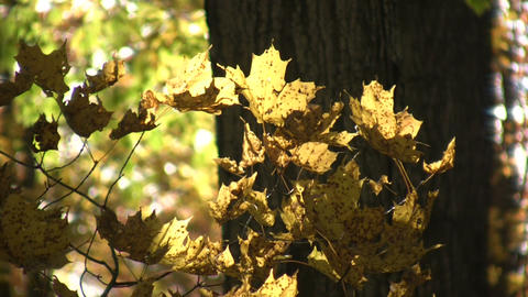 Autumn leaves gently sway in the sunlight (High Definition) Footage