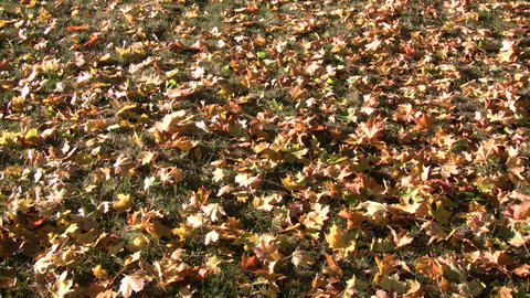 Autumn leaves rest on the ground in the sunlight (High... Stock Video Footage