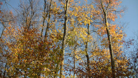 Autumn leaves shine in the sunlight (High Definition) Stock Video Footage