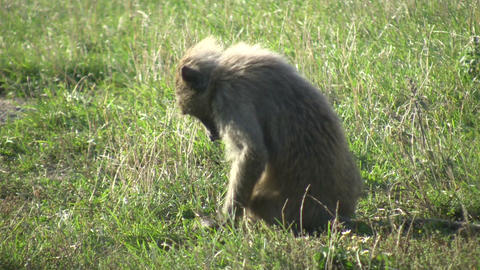 A young Olive Baboon (Papio anubis) sits in a field Stock Video Footage
