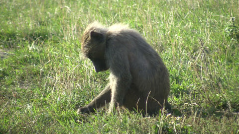 A young Olive Baboon (Papio anubis) sits in a field Footage