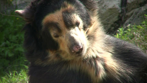 Closeup of Spectacled Bear is lazily laying around Footage
