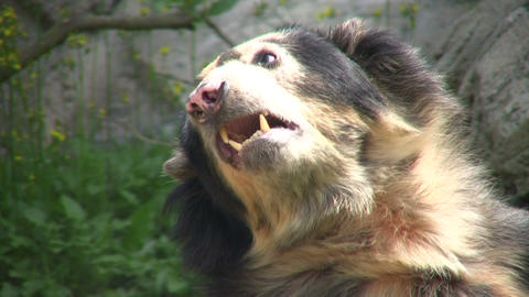 Closeup of Spectacled Bear is lazily laying around Stock Video Footage