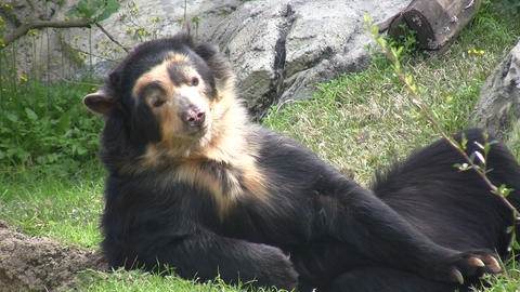 Spectacled Bear is lazily laying around Footage