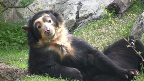 Spectacled Bear is lazily laying around Stock Video Footage
